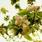 Apple Blossom on White by Themis