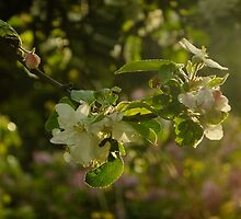 Apple Blossom Backlit by Themis