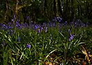 Bluebells in Prehen Woods by George Row