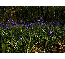 Bluebells in Prehen Woods Photographic Print