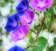 Magenta and Blue Morning Glories by DaveMoffatt