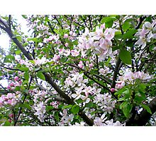 Apple Blossom Time Photographic Print