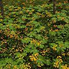 Golden Ragwort and Mayapple by Kent Nickell