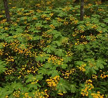Golden Ragwort and Mayapple by Kent Nickell
