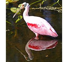 Roseate spoonbill with water reflection Photographic Print