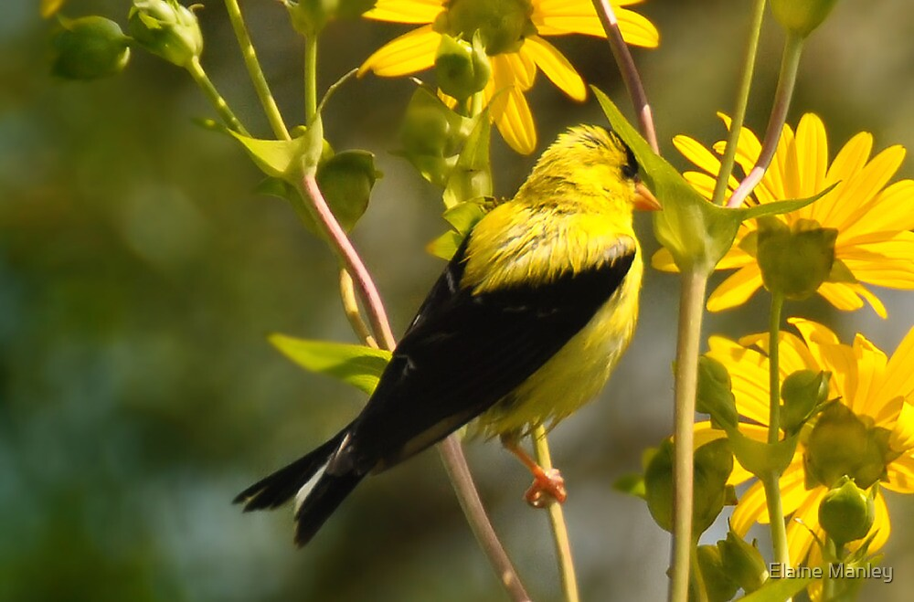 American Gold Finch by Elaine  Manley