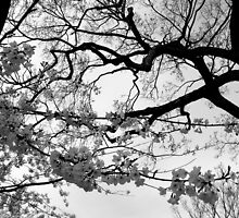 Cherry Blossoms  by Hope Ledebur