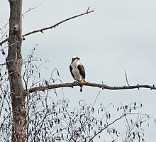 Osprey (Pandion haliaetus) by Mike Oxley