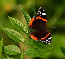 Red Admiral. by Mark Hughes