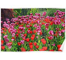 Tulip Profusion Poster