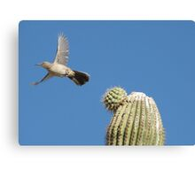 Curved-billed Thrasher ~ In Flight Canvas Print