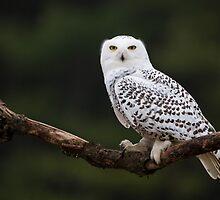 Snowy Owl  by Raymond J Barlow