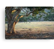 Kangaroos in the Field - Kangaroo Island  Canvas Print