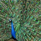 Peacock Love by Joe Jennelle
