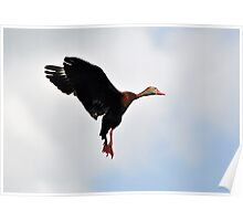 Black-bellied Whistling Duck in Flight Poster