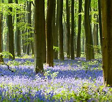 Bluebells by Martyn Franklin