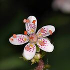 Saxifrage (Londons Pride) by Paul  Eden