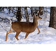 WHITETAIL DOE ON THE MOVE... Photographic Print