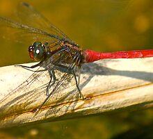 Dragon Fly by Heather Walker