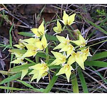 Cowslip Orchids Photographic Print