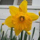 daffodil by froogl