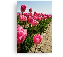 Tulips in Skagit Valley Canvas Print