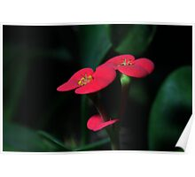 Crown of Thorns Plant Poster