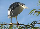 Black-crowned Night Heron by Kimberly Chadwick