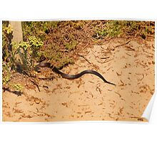 The disappearing tiger snake at Lights Beach Poster