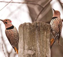 Northern Flicker Pair by Bradley Nichol