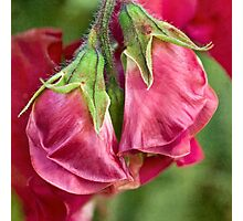 Sweet pea buds Photographic Print