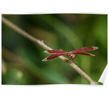 Red Grasshawk Dragonfly Poster