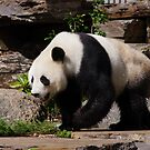 Giant Panda  by janfoster