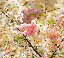Cherry Blossoms blooming at the Dallas Arboretum by kellimays
