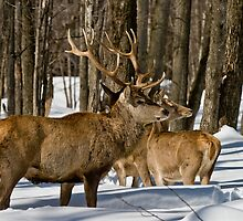 Red Deers In Winter by Michael Cummings