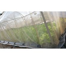 Hydroponic Vegetables Photographic Print