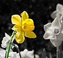 Daffodil by Boots86