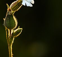 White Campion by Roger Hall