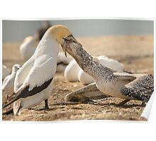Gannet Feeding Poster