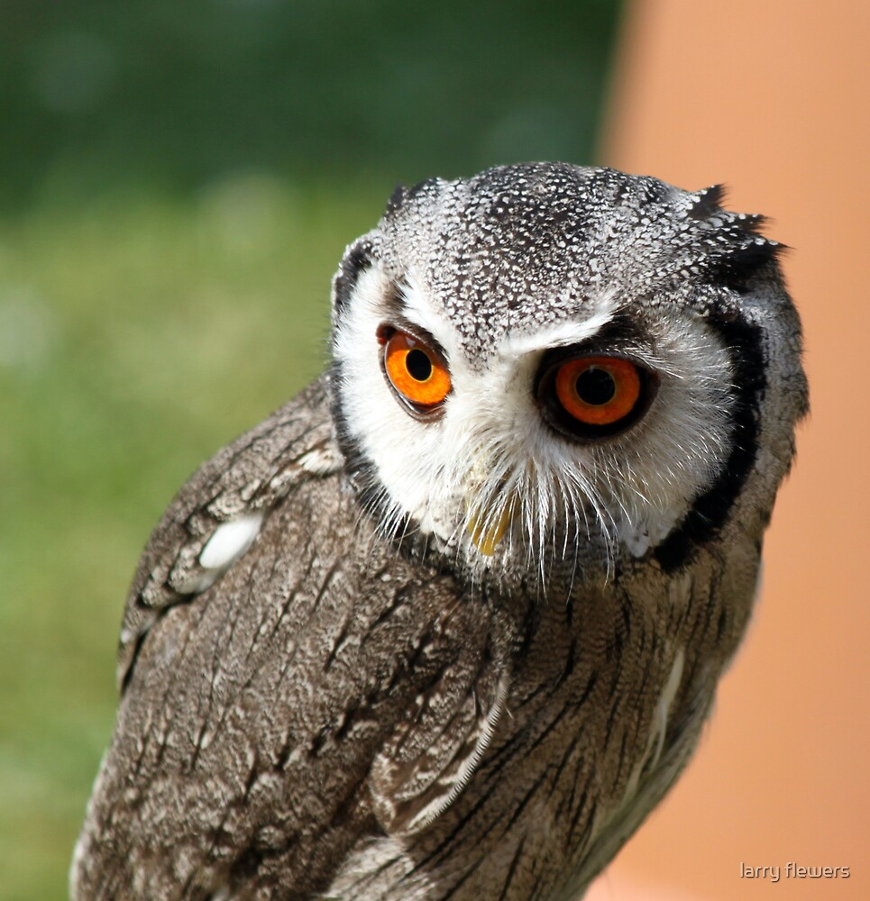 Southern White faced Owl by larry flewers
