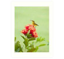 Little Sweety - yellow bellied sunbird Art Print