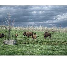 Buffalo And Young Photographic Print