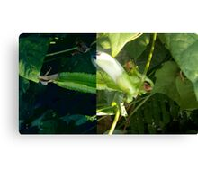 Winged Bean pods Canvas Print
