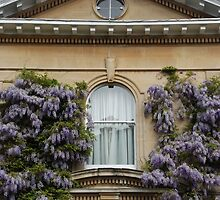 Wisteria Window by Celia Strainge