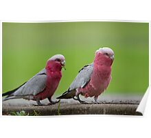 a couple of the galah Poster