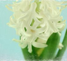 Hyacinth by Caterpillar