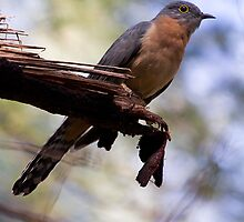 Fan-tailed cuckoo by houenying