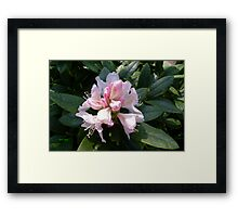 White Rhododendron Opening Framed Print