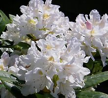 White Rhododendrons Fully Open by LoneAngel