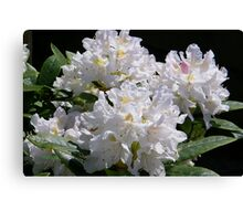 White Rhododendrons Fully Open Canvas Print